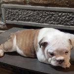British bulldog puppy [sold].
