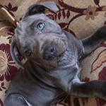 Staffordshire Bull Terrier [sold].