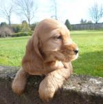 Golden Cocker Spaniel puppies - IKC Reg [sold].