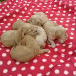 Cockapoo Puppies [sold].
