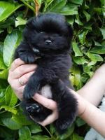 Pomeranian [sold].