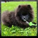 IKC Pomeranian for sale.