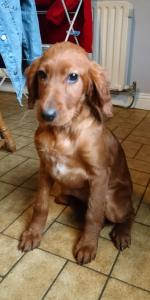 Irish Red Setter pups for sale.