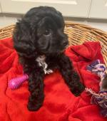 Cavapoo puppy's 2 MALES for sale.