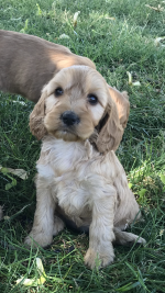 Red Cockapoo Puppies for sale.