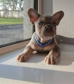 IKC Male French bulldog for sale.