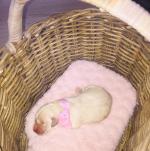 Golden Retriever Puppies [sold].