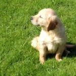 Stunning litter of golden retriever puppies for sale.