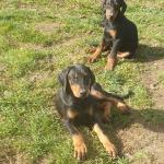Doberman pups [sold].