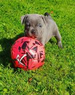 Staffordshire Bull Terriers for sale.
