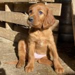 Irish Red Setter Pups in Longford for sale.