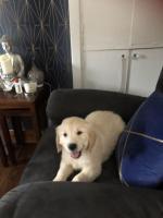 IKC reg Golden Retriever puppies for sale.
