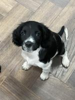 Full Bread Springer Spaniel Pups in Kerry for sale.