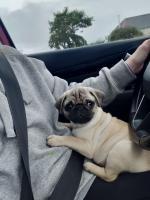 Teddy the Pug for sale.