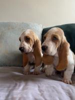 Basset Hound Puppies for sale.