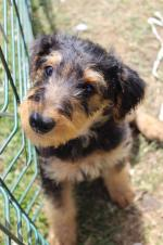 Pedigree Airedale terriers [sold].