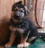 German shepherd Traditional straight back for sale.