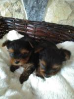 IKC Yorkshire Terrier pups for sale.