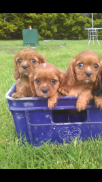 Cavalier king Charles IKC for sale.