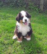 Bernese Mountain Dog Pups [sold].