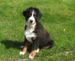 SOLD      Bernese Mountain Dog [sold].