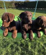 Chocolate Labrador Puppy [sold].