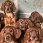 Irish Red setter for sale.