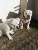 Old English bulldog for sale.