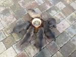 Glen of Imaal terrier pups [sold].