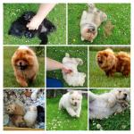 Chow Chow pups [sold].