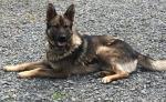 German Shepherd Pups [sold].