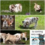 2 BULLDOGS FCI AFTER CHAMPIONS and french for sale.