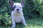 French Bulldog Kupos for sale.