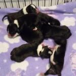 Staffordshire Bull Terrier Pups [sold].