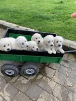 Adorable must see IKC Golden retrievers for sale.