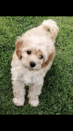 Cavapoo puppies [sold].