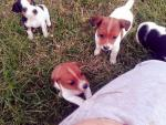 Beautiful jackrussel puppies [sold].