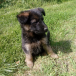 I.K.C. German Shepherd Pups for sale.