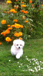 Bichon Frise Puppies [sold].