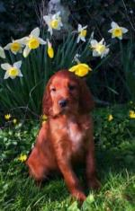 Irish Red Setter Puppies For Sale for sale.