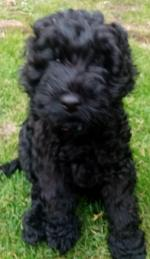 Cockapoo X Spaniel Cross Puppy [sold].