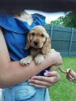 Cocker spaniel puppy [sold].