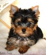 Yorkshire Terrier Pup [sold].