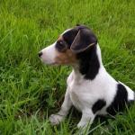 Jack Russell Pups €450 [sold].