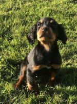 Gordon puppies [sold].