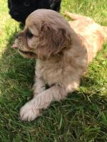 Cavapoo for sale.