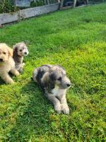 Bichpoo puppies for sale.