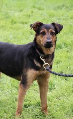 Rottweiler x German Shepherd female for sale.