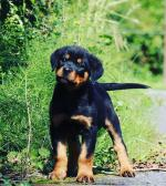 Stunning IKC Rottweiler puppies for sale.