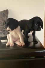 Springer Spaniel X Beagle Pups for sale.